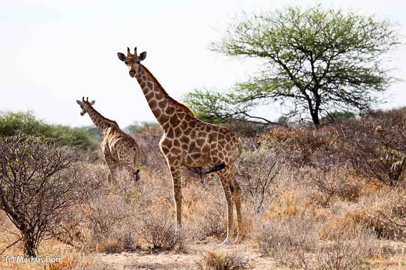 Giraffen auf dem Gelaende der Aoba Lodge