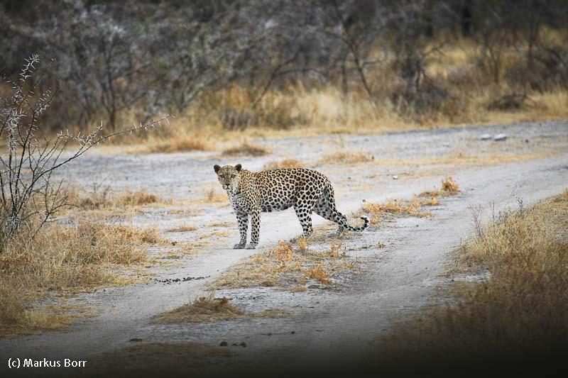 Leopard auf dem Gelaende bei der Aoba Lodge